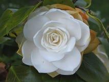 Άσπρο λουλούδι της καμέλιας την άνοιξη Στοκ Εικόνες