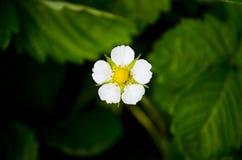 Άσπρο λουλούδι της φράουλας Στοκ εικόνες με δικαίωμα ελεύθερης χρήσης