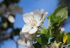 Άσπρο λουλούδι της Apple Στοκ Φωτογραφίες