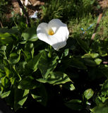 Άσπρο λουλούδι της Calla Στοκ εικόνα με δικαίωμα ελεύθερης χρήσης