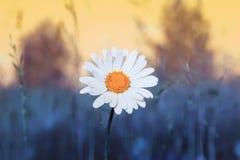 άσπρο λουλούδι της Daisy με τα λεπτά πέταλα που αυξάνονται στο θερινό λιβάδι Στοκ εικόνες με δικαίωμα ελεύθερης χρήσης