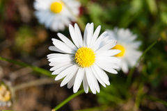 Άσπρο λουλούδι της Daisy στοκ φωτογραφία με δικαίωμα ελεύθερης χρήσης