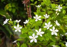 Άσπρο λουλούδι της Inda Στοκ φωτογραφία με δικαίωμα ελεύθερης χρήσης