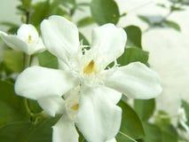 Άσπρο λουλούδι της Inda Στοκ Φωτογραφία