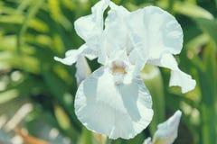 Άσπρο λουλούδι της Iris Στοκ φωτογραφίες με δικαίωμα ελεύθερης χρήσης