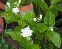 Άσπρο λουλούδι της Jasmine Στοκ εικόνες με δικαίωμα ελεύθερης χρήσης