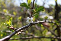 Άσπρο λουλούδι του δέντρου μηλιάς με τον κλάδο στο πράσινο υπόβαθρο φύλλων καλλιτεχνικά λεπτομερή οριζόντια μεταλλικά Παρίσι πλαι Στοκ Φωτογραφία