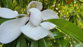 Άσπρο λουλούδι του δέντρου elastica ficus Κινηματογράφηση σε πρώτο πλάνο απόθεμα βίντεο