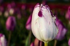 Άσπρο λουλούδι τουλιπών με τα πορφυρά κυριώτερα σημεία Στοκ φωτογραφία με δικαίωμα ελεύθερης χρήσης