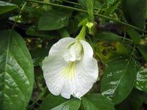 Άσπρο λουλούδι φτερών περιστεριών Στοκ φωτογραφίες με δικαίωμα ελεύθερης χρήσης