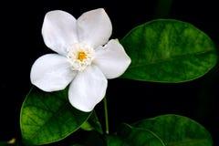 άσπρο λουλούδι φύσης Στοκ φωτογραφία με δικαίωμα ελεύθερης χρήσης