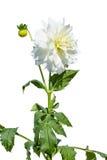 άσπρο λουλούδι χρυσάνθεμων με έναν νέο οφθαλμό σε ένα άσπρο υπόβαθρο Στοκ φωτογραφία με δικαίωμα ελεύθερης χρήσης