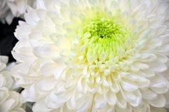 Άσπρο λουλούδι χρυσάνθεμων Στοκ εικόνα με δικαίωμα ελεύθερης χρήσης