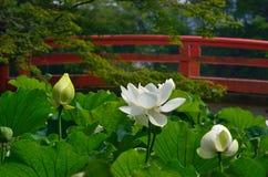 Άσπρο λουλούδι λωτού, Κιότο Ιαπωνία Στοκ Εικόνες