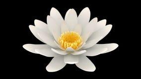 Άσπρο λουλούδι λωτού που περιστρέφεται το άλφα κανάλι απόθεμα βίντεο