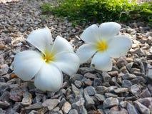 Άσπρο λουλούδι δύο Στοκ φωτογραφία με δικαίωμα ελεύθερης χρήσης