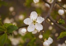 Άσπρο λουλούδι. Στοκ Εικόνες