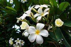 Άσπρο λουλούδι Στοκ Εικόνες