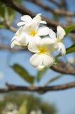 Άσπρο λουλούδι Στοκ Φωτογραφία