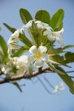 Άσπρο λουλούδι Στοκ εικόνες με δικαίωμα ελεύθερης χρήσης