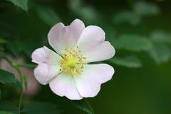 Άσπρο λουλούδι Στοκ Φωτογραφίες