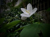 Άσπρο λουλούδι 02 Στοκ εικόνα με δικαίωμα ελεύθερης χρήσης