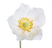 Άσπρο λουλούδι anemone που απομονώνεται στο λευκό Στοκ Φωτογραφίες