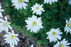 Άσπρο λουλούδι anemone στον κήπο Στοκ φωτογραφία με δικαίωμα ελεύθερης χρήσης
