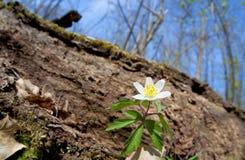 Άσπρο λουλούδι anemone στο δάσος Στοκ Εικόνες