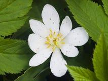 Άσπρο λουλούδι anemone στο ζιζάνιο μακρο, ρηχό DOF, εκλεκτική εστίαση Στοκ Εικόνες
