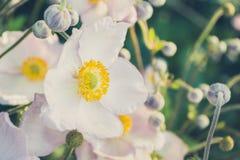 Άσπρο λουλούδι anemone στο λιβάδι - ο τρύγος κοιτάζει Στοκ Εικόνες