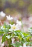 Άσπρο λουλούδι anemone την άνοιξη Στοκ φωτογραφία με δικαίωμα ελεύθερης χρήσης