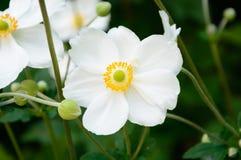 Άσπρο λουλούδι Anemone Hupehensis Στοκ φωτογραφία με δικαίωμα ελεύθερης χρήσης