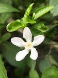 Άσπρο λουλούδι antidysenterica Wrightia Στοκ φωτογραφίες με δικαίωμα ελεύθερης χρήσης