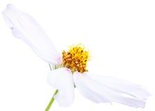 Άσπρο λουλούδι astra κήπων Στοκ Εικόνες