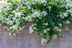 Άσπρο λουλούδι Bougainvillea Στοκ Φωτογραφία
