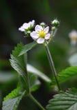 Άσπρο λουλούδι Erdbeeren Στοκ Εικόνα