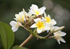 Άσπρο λουλούδι Frangipani ή Plumeria με τα φύλλα και το blueray υπόβαθρο Στοκ φωτογραφία με δικαίωμα ελεύθερης χρήσης