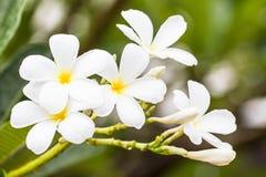 Άσπρο λουλούδι frangipani στην Ταϊλάνδη Στοκ Φωτογραφία
