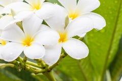 Άσπρο λουλούδι frangipani στην Ταϊλάνδη Στοκ φωτογραφία με δικαίωμα ελεύθερης χρήσης