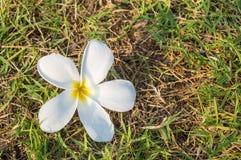 Άσπρο λουλούδι Frangipani στη χλόη Στοκ Φωτογραφία