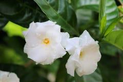 Άσπρο λουλούδι gardenia Στοκ εικόνα με δικαίωμα ελεύθερης χρήσης