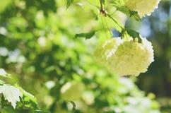 Άσπρο λουλούδι Hydrangea arborescens Annabelle Στοκ Φωτογραφίες