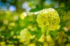 Άσπρο λουλούδι Hydrangea arborescens Annabelle Στοκ Εικόνες