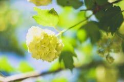 Άσπρο λουλούδι Hydrangea arborescens Annabelle Στοκ εικόνες με δικαίωμα ελεύθερης χρήσης