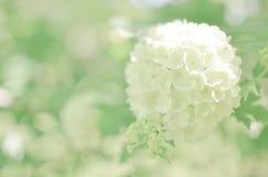 Άσπρο λουλούδι Hydrangea arborescens Annabelle Στοκ εικόνα με δικαίωμα ελεύθερης χρήσης
