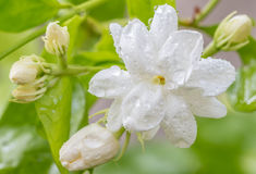 Άσπρο λουλούδι, Jasmine (Jasminum sambac Λ ) Στοκ Φωτογραφία