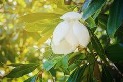 Άσπρο λουλούδι Magnolia στο δέντρο με τα πράσινα φύλλα στο μαλακό υπόβαθρο του φυλλώματος Στοκ Εικόνα