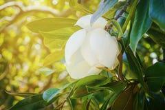 Άσπρο λουλούδι Magnolia στο δέντρο με τα πράσινα φύλλα στο μαλακό υπόβαθρο του φυλλώματος Στοκ Εικόνες