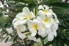 Άσπρο λουλούδι Plumeria ή Frangipani με τα πράσινα φύλλα Στοκ εικόνα με δικαίωμα ελεύθερης χρήσης